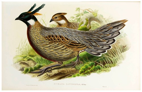 017-Chinese Pucras Pheasant-The birds of Asia vol. VII-Gould, J.-Science .Naturalis