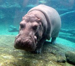 Busch Gardens - Edge Of Africa - Hippopotamus - Underwater Looking Through Glass