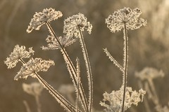 Beauty in the dying weeds