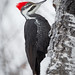 Pileated Woodpecker by Turk Images