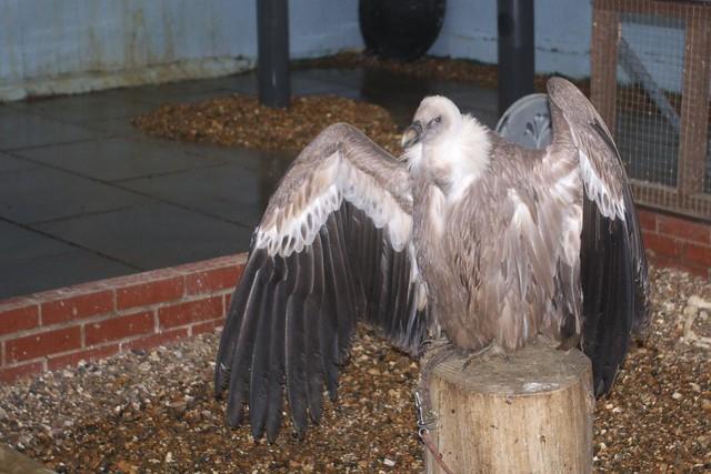 DSC_5356 Vulture