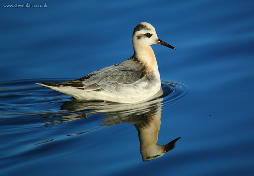 Grey Phalarope at Dunstable SW