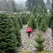 sequoia, picking an xmas tree    MG 0495