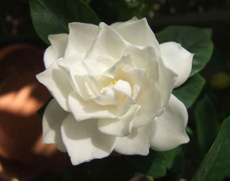Gardenia, la flor y nata del jardín
