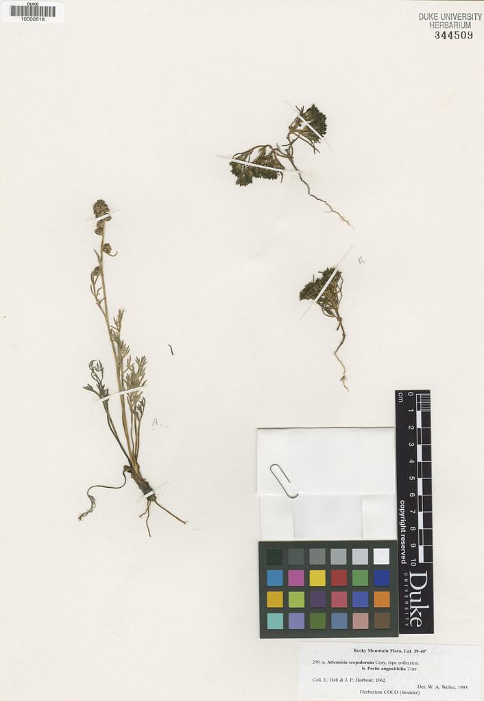 Asteraceae_Artemisia scopulorum