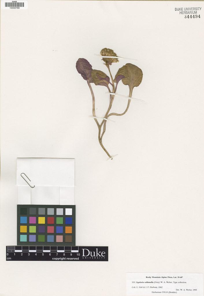 Asteraceae_Senecio soldanella