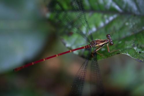 dragonfly, Madagascar