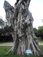 台南孔廟的百年老樹,台南市政府搶救中。