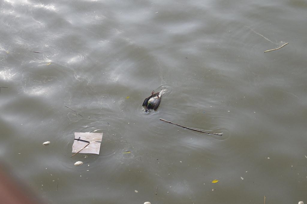 淡水河水面上的浮屍