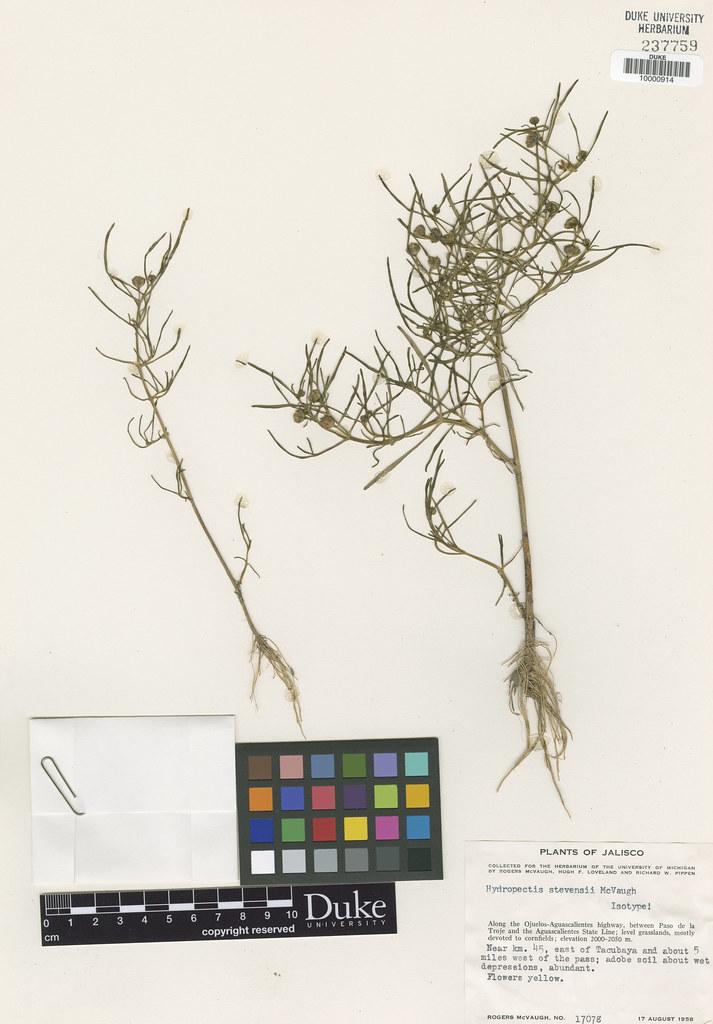 Asteraceae_Hydrospectis stevensii