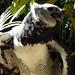 Small photo of Harpy Eagle Harpia harpyja