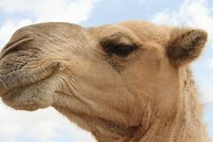 Camel Market (42)