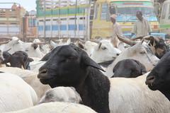 Camel Market (16)