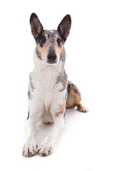 smooth collie   1
