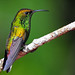 Coppery-headed Emerald by 1F Photos - mostly offline, under the weather