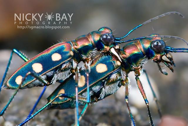 Tiger Beetle (Cicindelinae) - DSC_9842