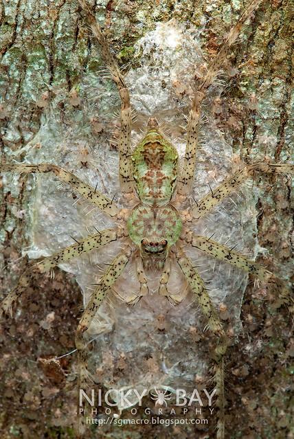 Lichen Huntsman (Pandercetes sp.) - DSC_1031