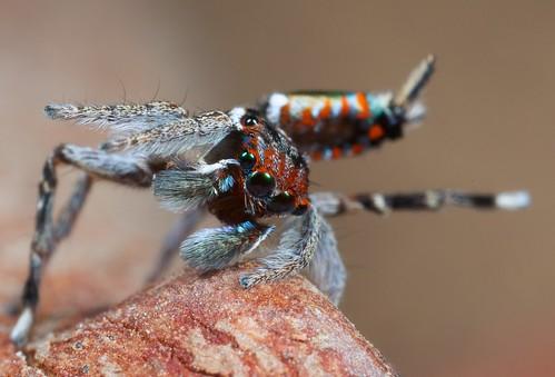 _X8A9537 (1) Peacock spider Maratus digitatus