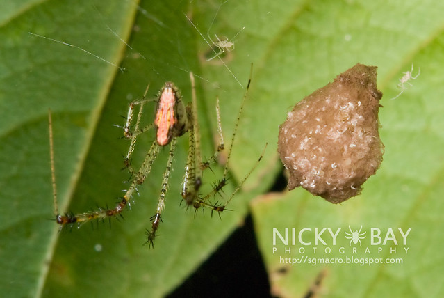 Comb-Footed Spider (Theridiidae) - DSC_7622