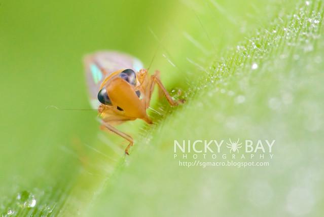 Leafhopper? (Cicadellidae) - DSC_6362