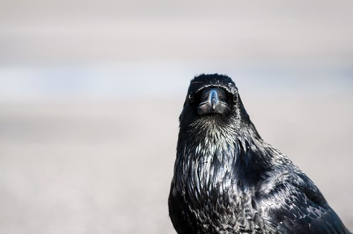 Spend some time with a Common Raven and you'll find they're not all that common in their behavior.