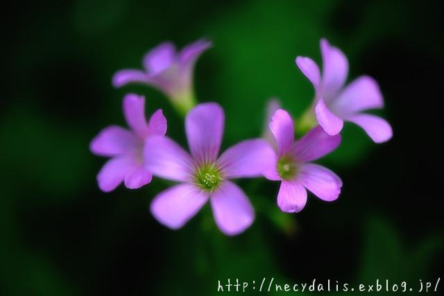 minikin flowers...