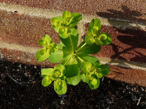 Sun Spurge (Euphorbia helioscopia) by Peter Orchard