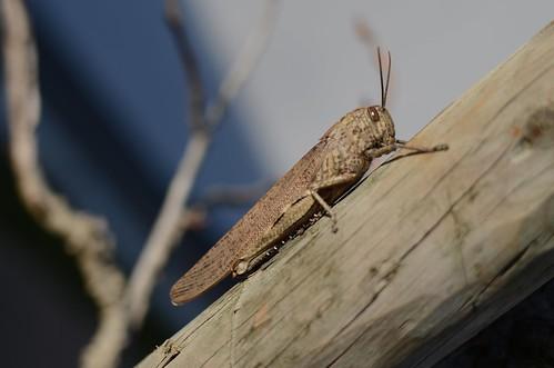 Day #004 - Grasshopper