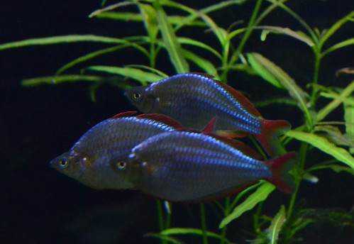 Dwarf neon rainbow fish tankmates images for Turquoise rainbow fish