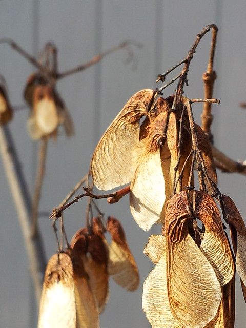 Maple Seeds
