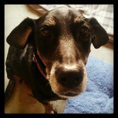 Lola says Woof! #rescue #adoptdontshop #dobermanmix #dogstagram #love #dobiemix