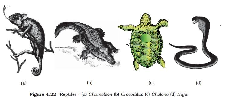 NCERT Class XI Biology: Chapter 4 - Animal Kingdom