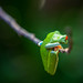 red-eyed tree frog by naturhighlights