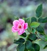 DSC_4337e ~ Knock Out Rose by BDC Photography