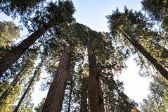 Sequoias 2