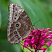 Blue Morpho on Firespike (Explore 12/11/12)