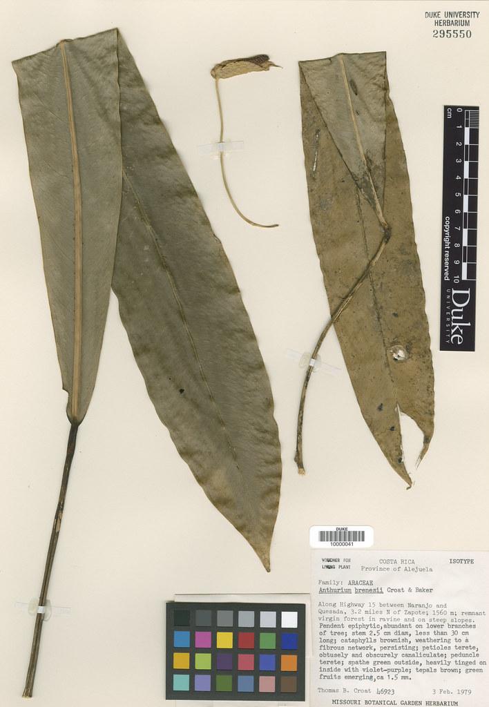 Araceae_Anthurium brenesii