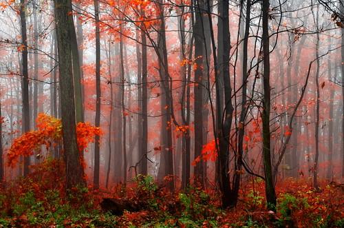 autumn red ontario canada fall fog burlington forest maple mood magic foliage bfg brucetrail gettycollection rememberthatmomentlevel4 rememberthatmomentlevel1 rememberthatmomentlevel2 rememberthatmomentlevel3 besteverdigitalphotography