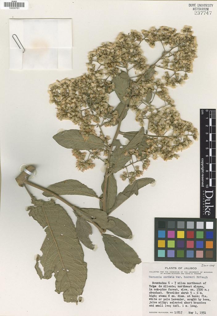 Asteraceae_Vernonia cordata