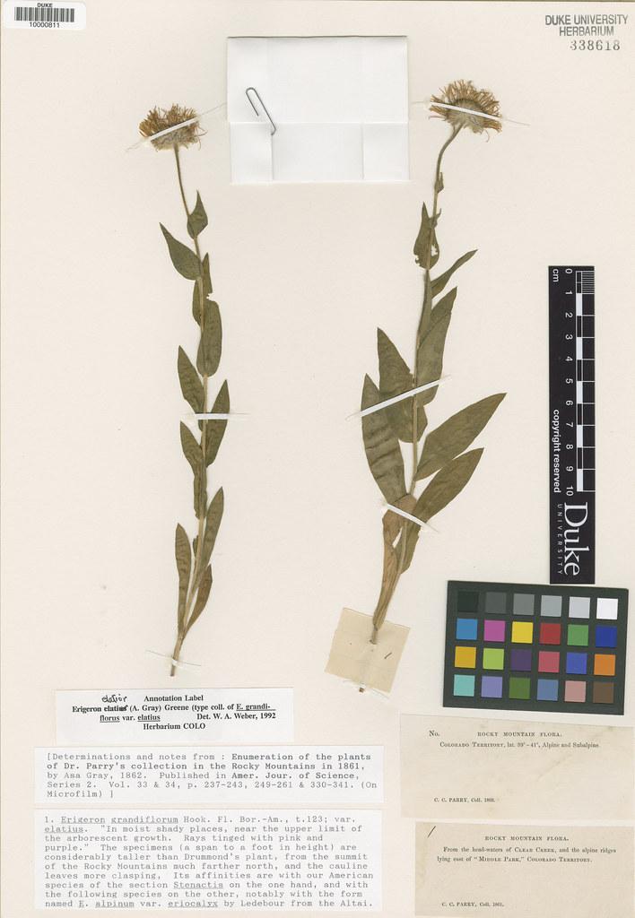 Asteraceae_Erigeron grandiflorus