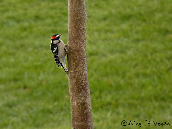 Woody the Hairy Woodpecker