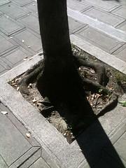 林試所前的行道樹。