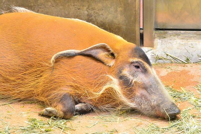 アカカワイノシシ (Red River Hog)