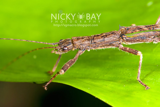 Stick Insect (Phasmatodea) - DSC_1367
