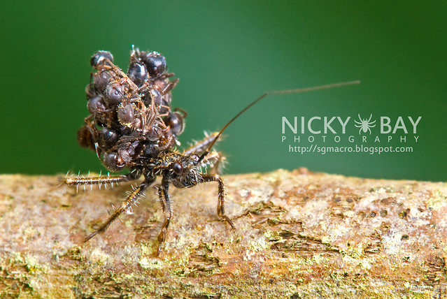 Ant-Snatching Assassin Bug (Acanthaspis sp.) - DSC_9077