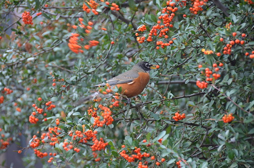 Robin with Orange Berry