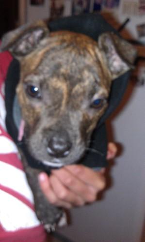 Found Pitbull Puppy: Oakwood near Abbot Kinney