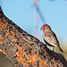 Male House Finch with seed