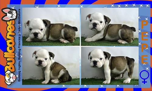 Pepe_bullcanes_bulldog_puppies_for_sale