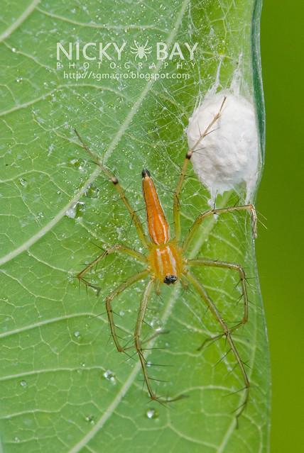 Lynx Spider (Oxyopidae) - DSC_8011